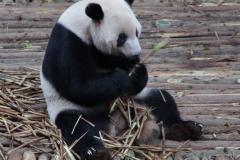 panda , lui en eten